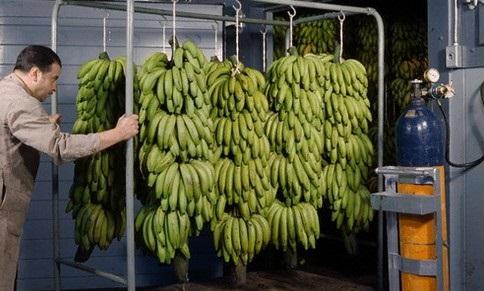 бананы отправляют на дозревание в камеру с этиленом