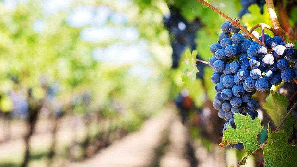 выращивание винограда для виноделия